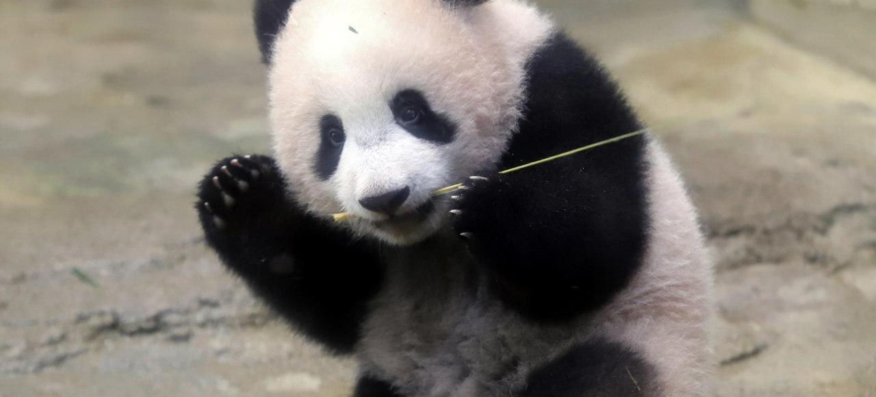 xiang xiang panda